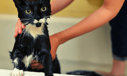 How often should you bathe a cat- mrtoppet.com