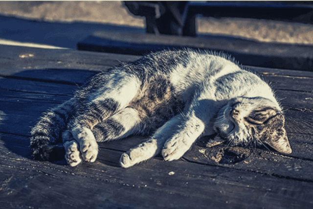 how to euthanize a cat at home without a vet- mrtoppet