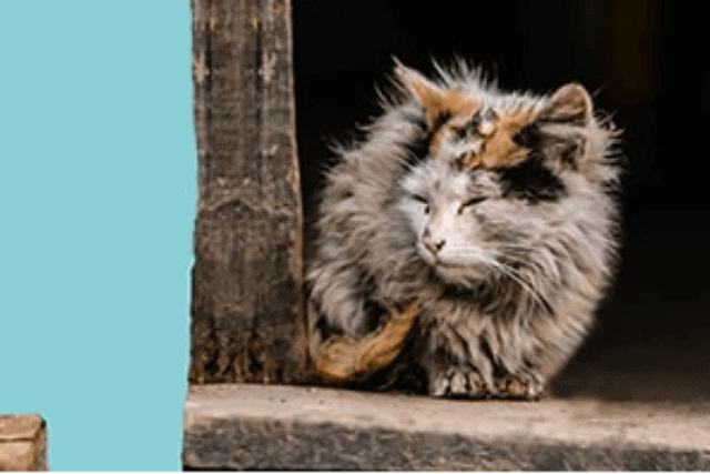 how to euthanize a cat at home without a vet