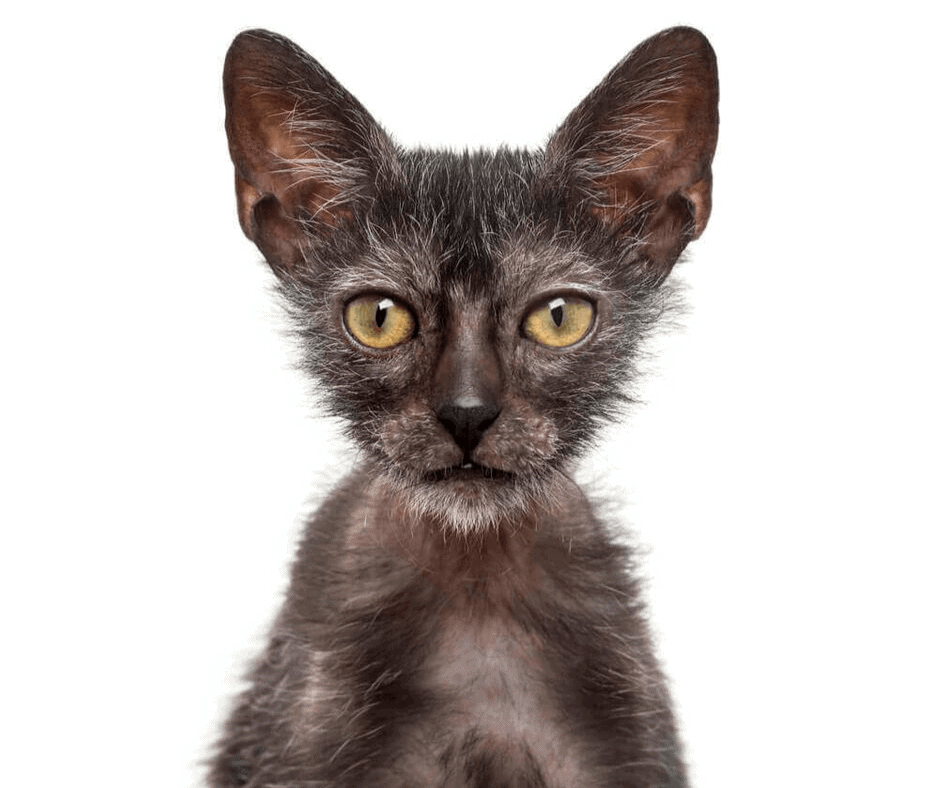 werewolf cat breed