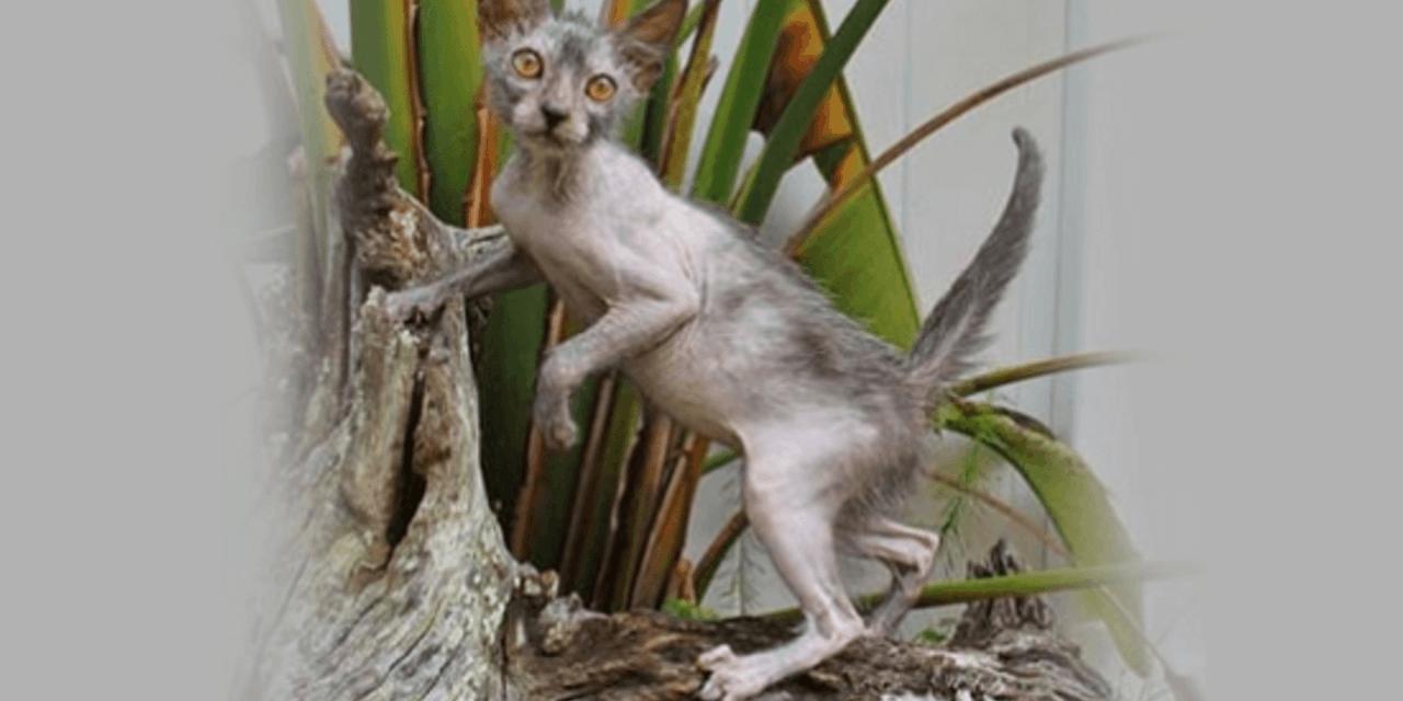 werewolf cat breed