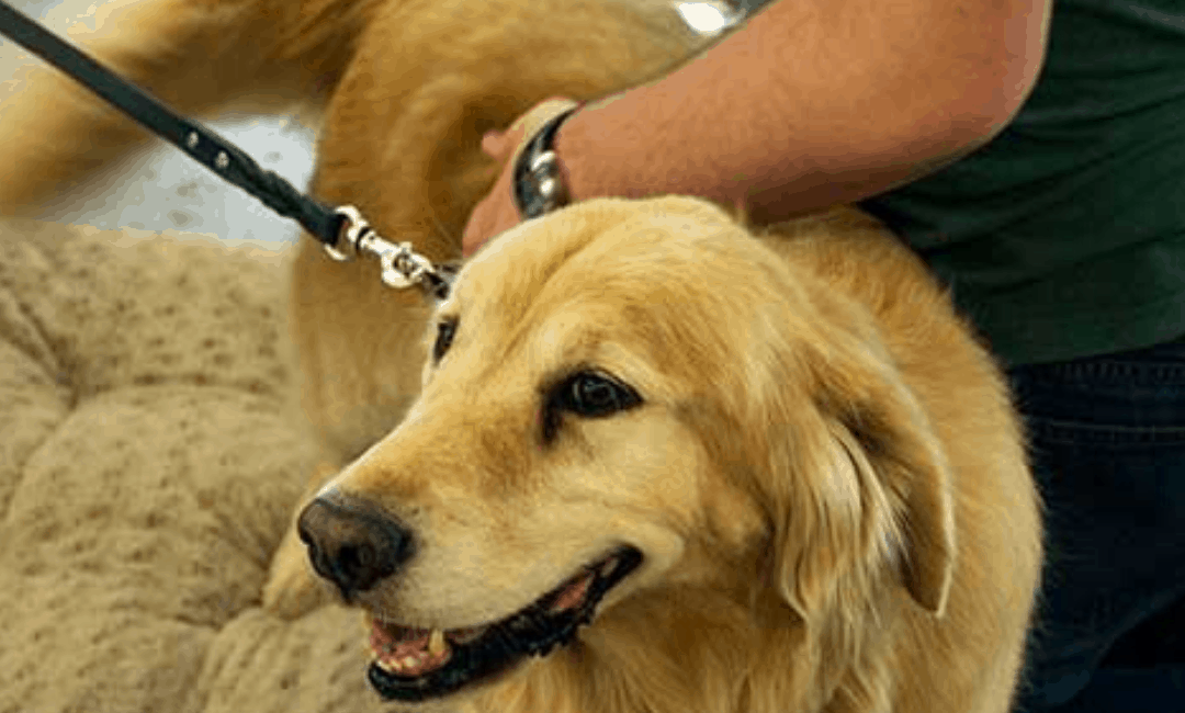 Learn To (Do) breeds of therapy dogs Like A Professional