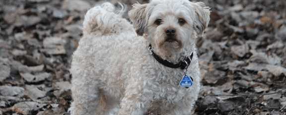 breeds of therapy dogs