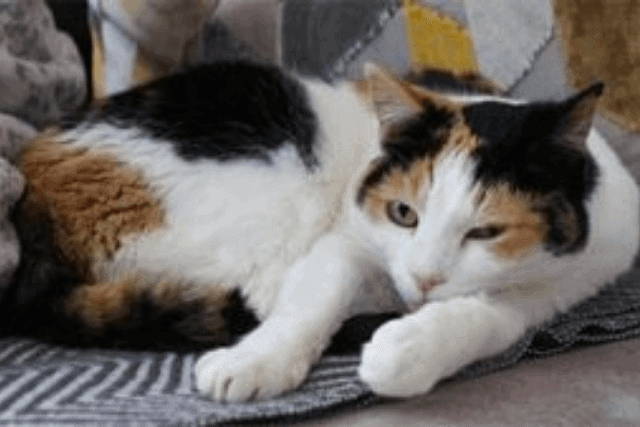 lifespan of a tortoiseshell cat