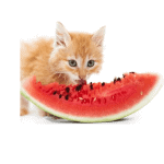 Can cats have watermelon