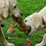 What are the best toys for golden retrievers?